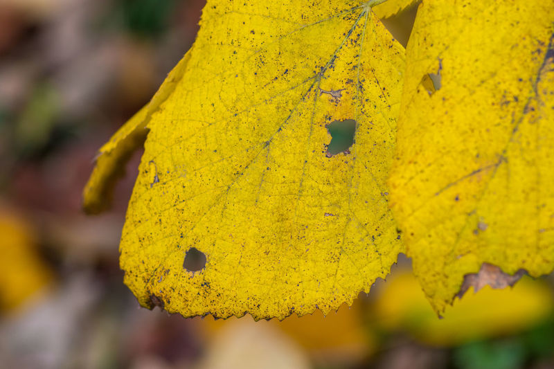 Close-up of yellow autumn leaves