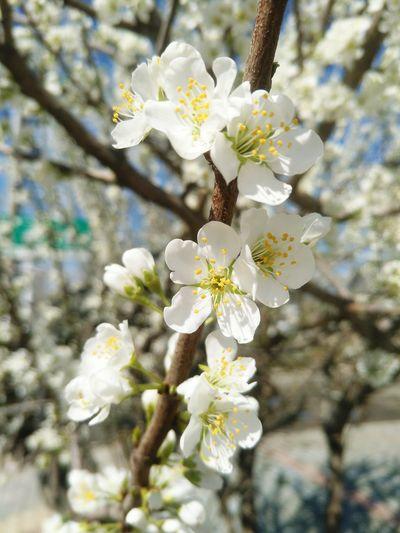 Flower Head Tree Flower Branch Springtime Petal Blossom Plum Blossom Apple Blossom White Color