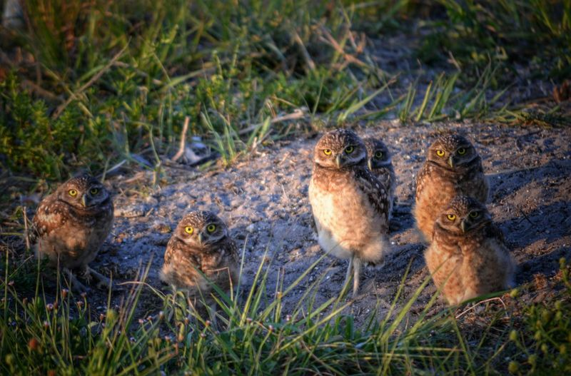 Burrowing Owl Family Owl Chicks Curious Owls Sunlight And Shadow Florida United States No People Selective Focus Outdoors Nature Cropped Birds Owl Ground Nest Grass Animal Themes Sand Dirt Six Animals Animals Bird Curiosity