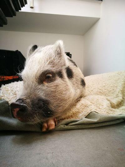 Pig Minipig