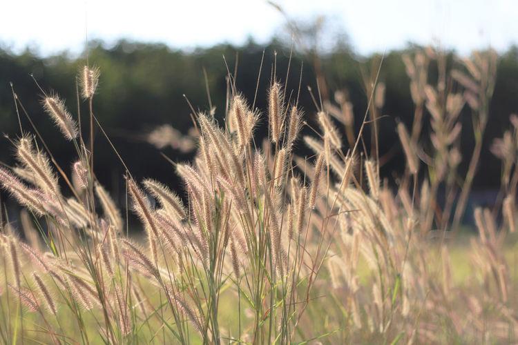 Grass flower in