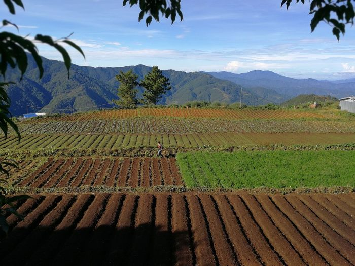 Mt. Pulag 03 | Agriculture Field Rural Scene Growth No People Landscape Day Sky Tree Outdoors Tea Crop Nature Beauty In Nature Food Freshness Irrigation Equipment Farming Farmer Mountain Crops Country Countryside
