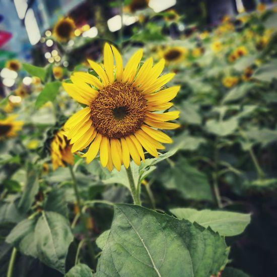 Sunflower Sunflowers Sunflowerlovers Sunflower, Blossoms, Flower, Bloom Sunflower - The Inside Story #1