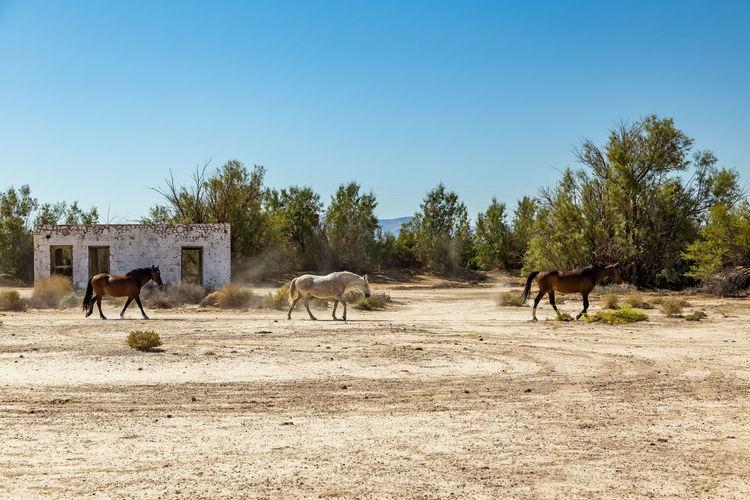 Horses walking on field against clear blue sky