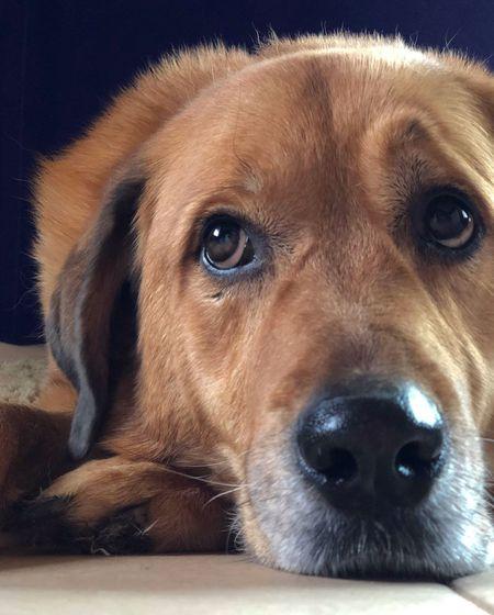 Dog Eyes Dog Eyebrows Dog Close-up Portrait Dog Portrait Dog Gray Muzzle Big Dog Dog Nose Red Dog Dog Faces Funny Dog Face Animal Rescue Mutts Mutts Are The Best Dog Adoption Dog Face Expression Dog Close-up Rescue Dog Dog Pets Domestic Animals One Animal Animal Themes Mammal Animal Head  Close-up