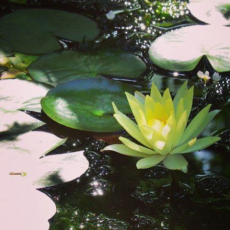 Waterlily Flower 睡蓮 スイレン 花 水辺 池