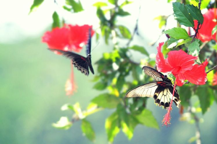 Butterflies Thamronlens Canonphotography Canon EOS 70D Butterfly EyeEm Indonesia Indonesia_photography Indonesia_allshots Canon Eos