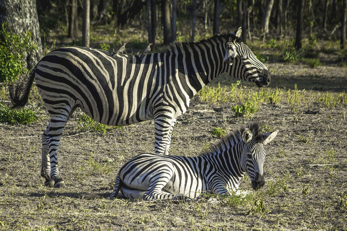 Game Drive Animal Animal Markings Animal Themes Animal Wildlife Animals In The Wild Domestic Animals Field Group Of Animals Mammal Nature No People Outdoors Plant Safari Standing Striped Two Animals Vertebrate Zebra