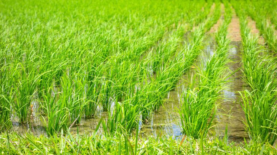 Crops growing on field