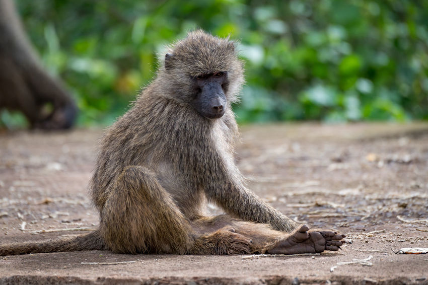 Nature Tanzania Travel Africa Animal Animal Wildlife Animals In The Wild Baboon Day Focus On Foreground Full Length Looking Looking Away Mammal Nature No People Olive Baboon One Animal Outdoors Primate Safari Sitting Vertebrate Wildlife