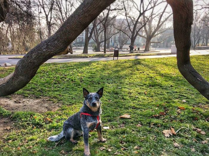 Tree portal guardian Tree Dog One Animal Pets Animal Themes Domestic Animals Tree Trunk Mammal Looking At Camera Sitting Portrait Nature Outdoors No People Grass Day Landscape Australiancattledog Heeler Cattle Dog ACD  Blue Heeler Blue Dog Australian Cattle Dog