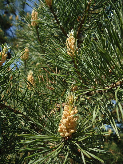 Branch Close-up Cone Conifer  Coniferous Coniferous Growing Growth Nature Needle Leaves Needle-Shaped Leaves Pine Pine Cone Pine Cone Growing Pine Needles Pine Tree Tree