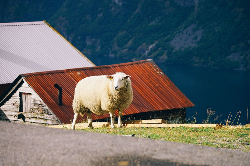 Sheep on the street with houses background Animal Themes Animal Mammal Domestic Animals Vertebrate One Animal Livestock Domestic Architecture Built Structure Building Exterior Pets Nature Day Roof House Building Agriculture No People Landscape Outdoors Herbivorous Iron Sheep