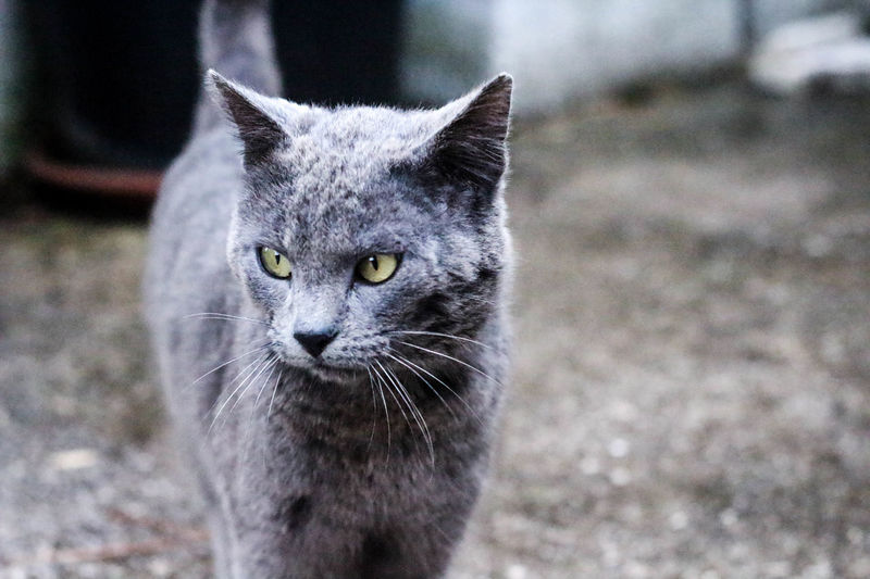 🐱🐾 Animal Themes Bright Eyes Cat Cats Of EyeEm City Close-up Domestic Animals Domestic Cat Feline Focus On Foreground Gatto Grey Grigio Growth Looking At Camera Mammal Natur Nature No People One Animal Outdoors Pets Portrait Whisker Yellow Eyes