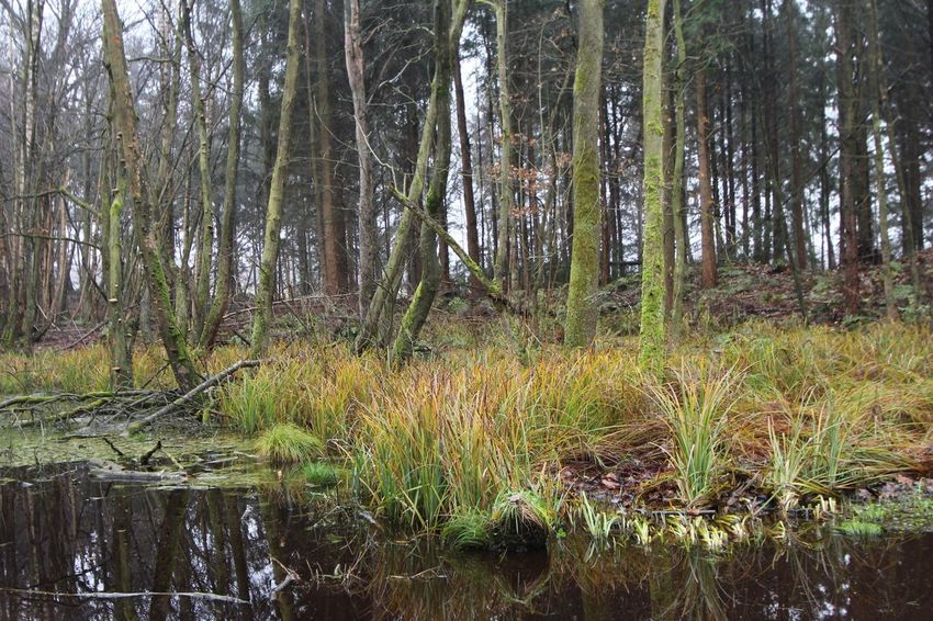 A December Sunday in the woods ... Beauty In Nature Forest Grass Growth Nature No People Outdoors Scenics Tranquil Scene Tranquility Tree Water