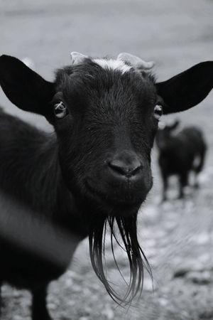 Capra che sorride Black And White Collection  Blackandwhite Photography Animal Photography Loveanimals CAPRA Capre Monochrome