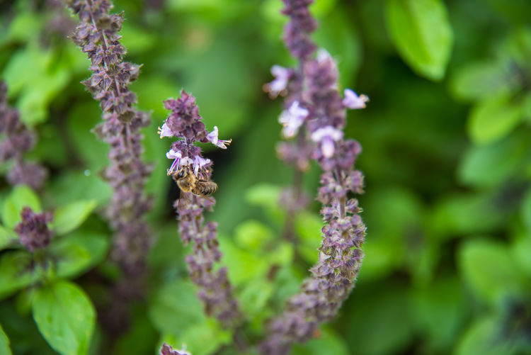 Flower Plant Beauty In Nature Flowering Plant Vulnerability  Fragility Growth Close-up Day Freshness Nature Selective Focus No People Focus On Foreground Outdoors Purple Flower Head Inflorescence Green Color Petal Basil Basilicum Herbs Ingredient Tasty Bee Bees And Flowers