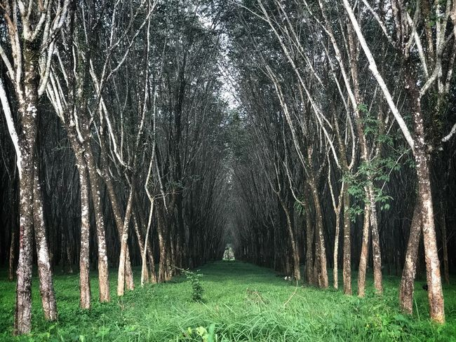 Rubber Trees Nature Growth Beauty In Nature Outdoors Tranquility Green Color Scenics No People Day Forest Tree Phuket,Thailand An Eye For Travel