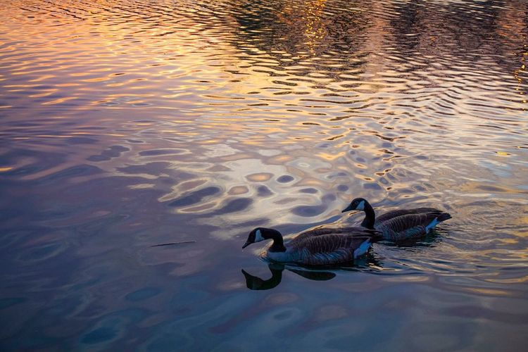 Love birds Geese Swimming Pond Sunset EyeEm Nature Lover Sony A6000