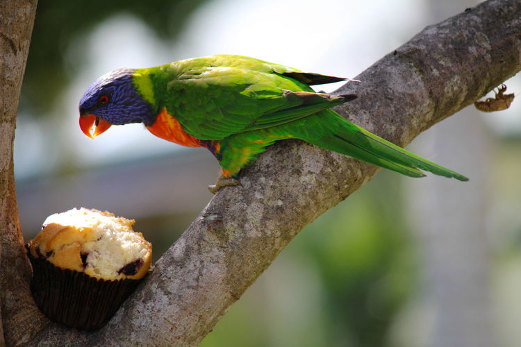 Sharing is caring Animal Themes Animal Wildlife Animals In The Wild Beauty In Nature Bird Branch Close-up Day Focus On Foreground Multi Colored Nature No People One Animal Outdoors Parrot Perching Rainbow Lorikeet Rainbow Lorikeets