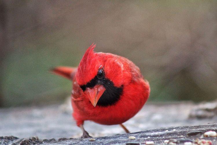 Close-up of cardinal