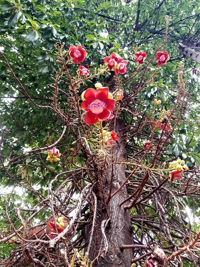 Salween Flower Red Love Heart Shape Grass Flower Head