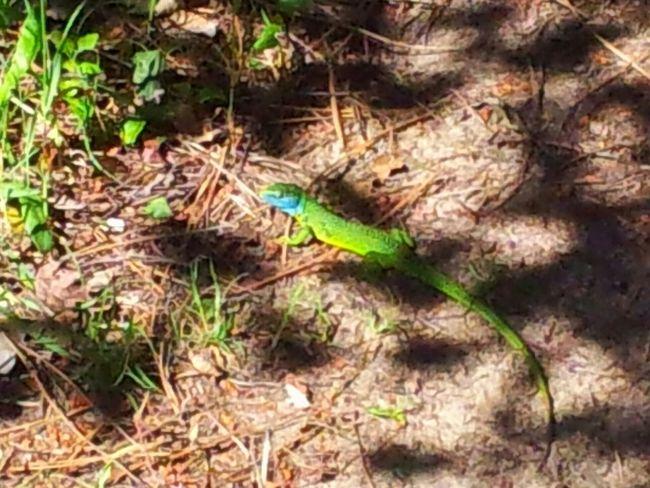 Green Lizard . Blue head because its breeding season (spring) .True color. Taking Photos Nature Lizard Nature Nature Photography Lizard Photography Green Lizard Hello World Relaxing