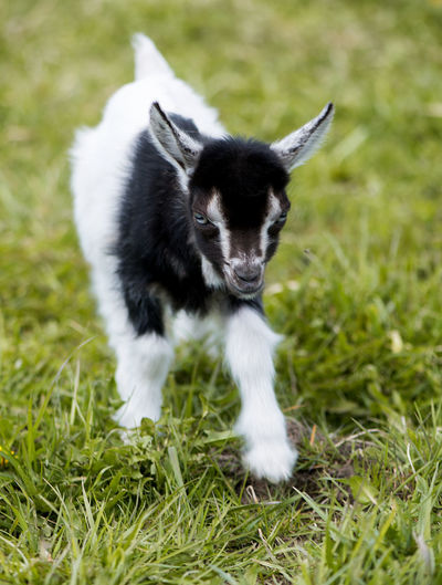Agriculture Animal Portrait Animal Themes Black And White Cattle Breeding Close-up Day Dog Domestic Animals Field Goat Goats Grass Green Color Mammal Nature No People One Animal Outdoors Pasture Pets Yeanling Young Animal