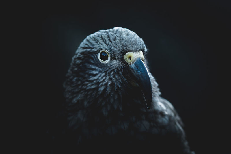 Close-up of a bird against black background