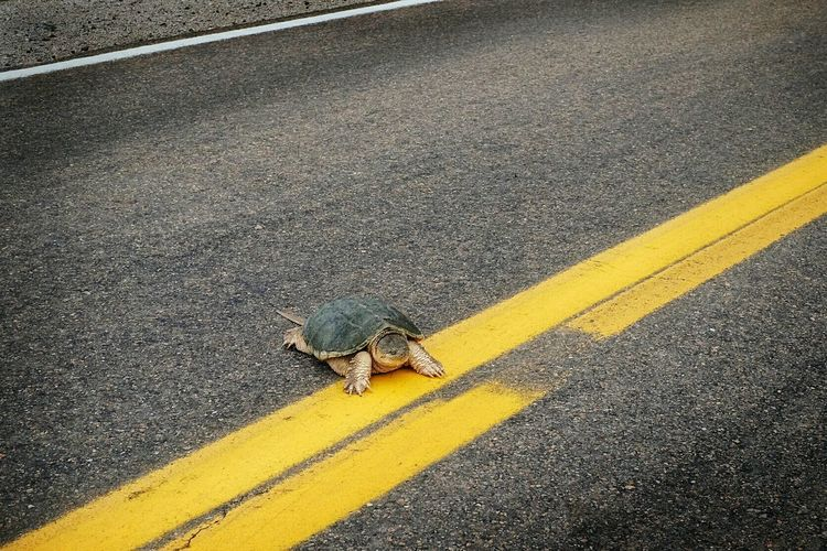 """Turtle soup"" Snapping Pics Rural Landscape On The Road Rural America Turtle Check This Out Speed Bump Belligerent Living Dangerously Animal Rescue"
