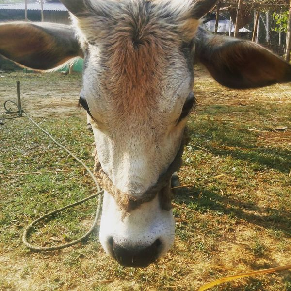 My First Uploading Photo 18-02-2018: 6:17 @ M Farmland Focused Ordinary Cow EyeEm Selects One Animal Animal Themes No People Day Mammal Nature Outdoors Domestic Animals Close-up