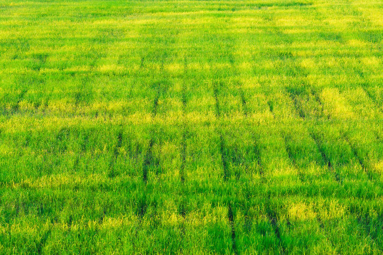 Green Paddy Field Agriculture Background Beautiful Beauty In Nature Change Crop  Day Farm Field Grass Grassy Green Green Color Growing Growth Landscape Lush Foliage Nature Paddy Rice Rural Scene Tranquil Scene