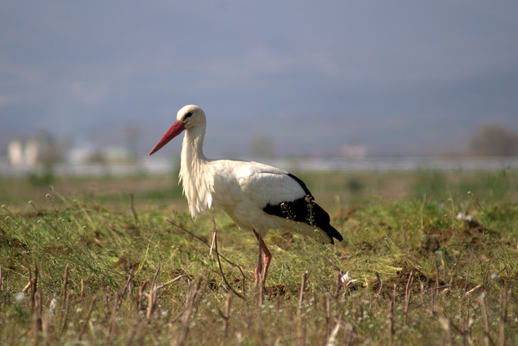 Side view of a bird on grass
