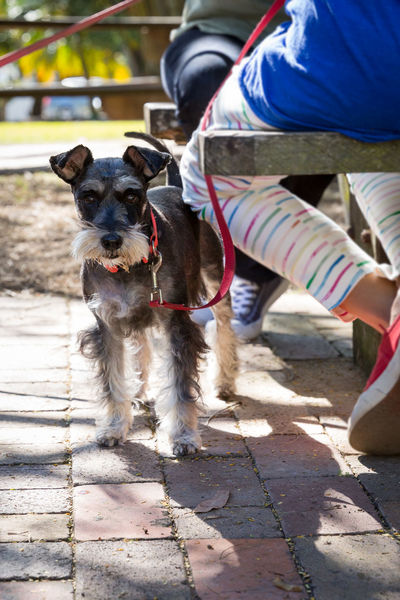 Dogs Of EyeEm Schnauzer Schnauzerlife Adult Beard Day Dog Dog Standing Dogs Life Domestic Animals Human Leg Lifestyles Low Section Mammal One Animal One Person Outdoors People Pets Real People Schnauzerlove Shadow Sitting Standing Sunlight