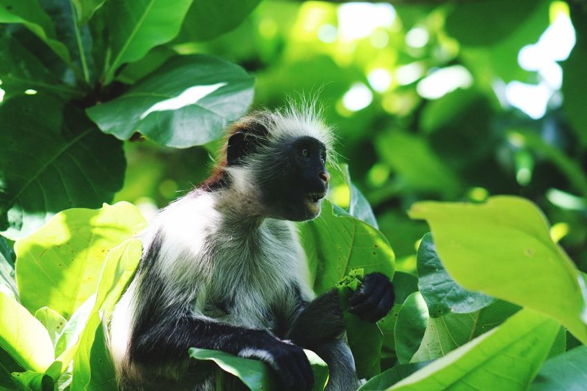 Monkey Zanzibar Monkey Zanzibar Colobus Tanzania Eating Food Animals In The Wild Animal Wildlife Animal Themes Leaf Animal Plant Part One Animal Plant Growth Green Color No People Close-up Focus On Foreground Outdoors Beauty In Nature