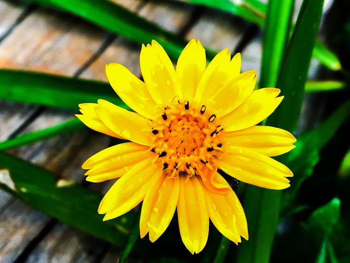 TakeoverContrast Flower Yellow Petal Freshness Fragility Flower Head Close-up Growth Beauty In Nature Vibrant Color Springtime Single Flower Nature Focus On Foreground Blossom In Bloom Soft Focus Vibrant Vibrant Colours Check This Out Nature Beauty In Nature Nature Photography Botany Sommergefühle