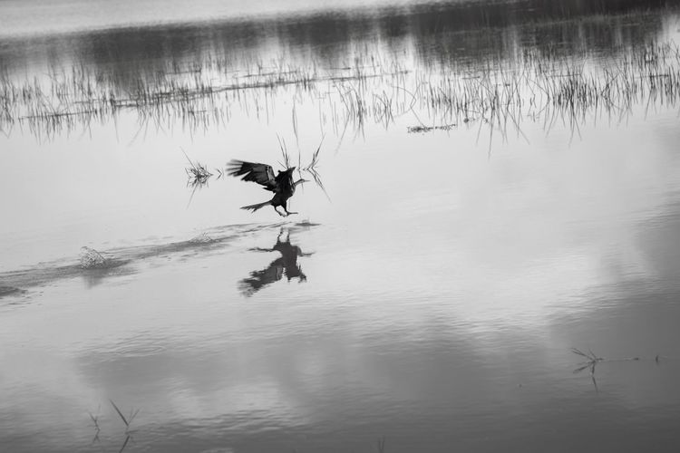 Bird mid water take-off Lake Bird Photography Water Reflection Lake Real People Waterfront Day Nature Motion Tranquility Beauty In Nature