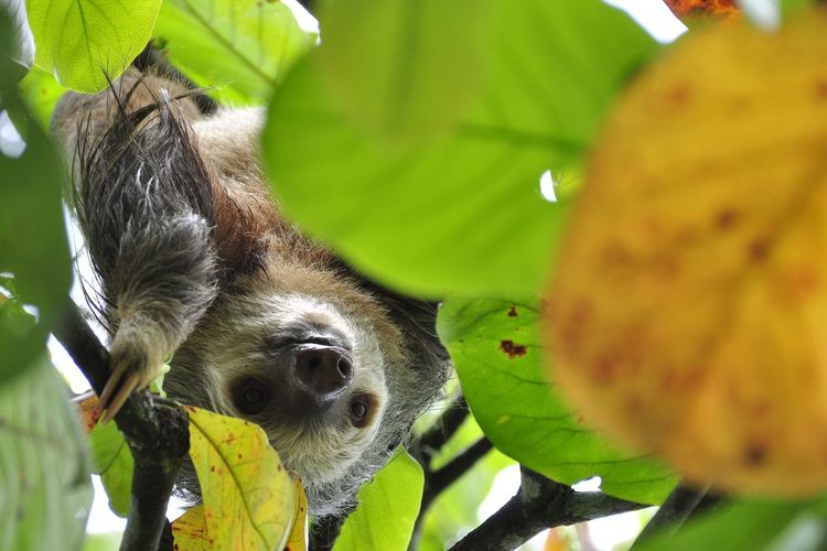 Low angle view of sloth hanging on tree