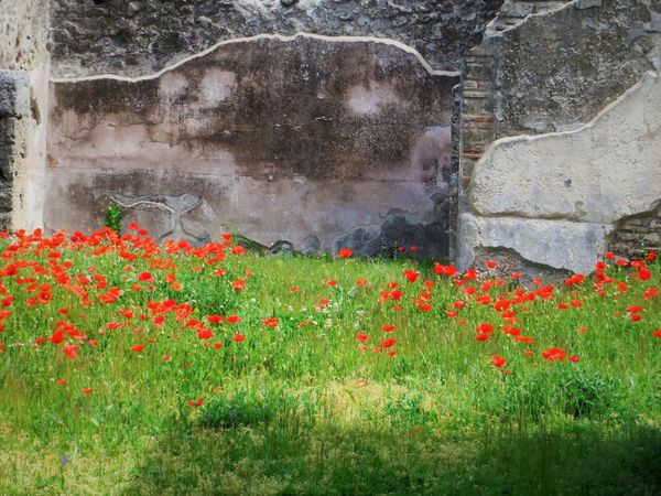 Beauty In Nature Close-up Day Flower Flower Head Flowerbed Freshness Grass Growth Mountain Nature No People Outdoors Plant Pompei Scavi Pompei. Archeologia Pompeii Details Pompeii Ruins Poppy Red