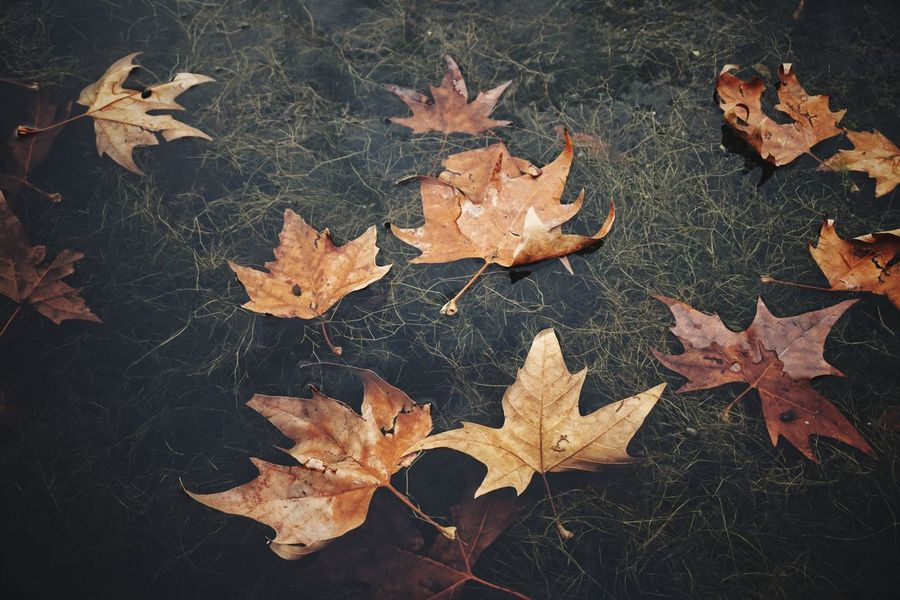 | Orto Botanico | EyeEm Italy Puddleography Leafs Orto Botanico Di Padova Leaf Autumn Maple Leaf High Angle View Close-up Leaves Fall Autumn Collection Delicate Floating Full Frame Natural Pattern Capture Tomorrow A New Perspective On Life