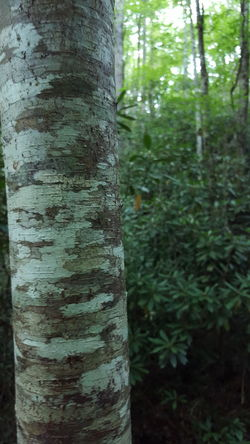 Great Smoky Mountains  Juney Whank Falls Beauty In Nature Birch Tree Close-up Day Focus On Foreground Forest Growth Magnolia Leaves Nature No People Outdoors Textured  Tranquility Tree Tree Trunk