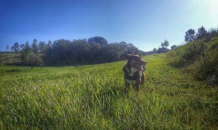 Que bem que se está no campo 👌🐶🌿 KHUMBA Princess Dog Dogslover Freshair Field Chillin Lostinhood Snapseed Snapseeddaily Vscocam Vscophoto Nature Naturelovers Portugalcomefeitos Portugal