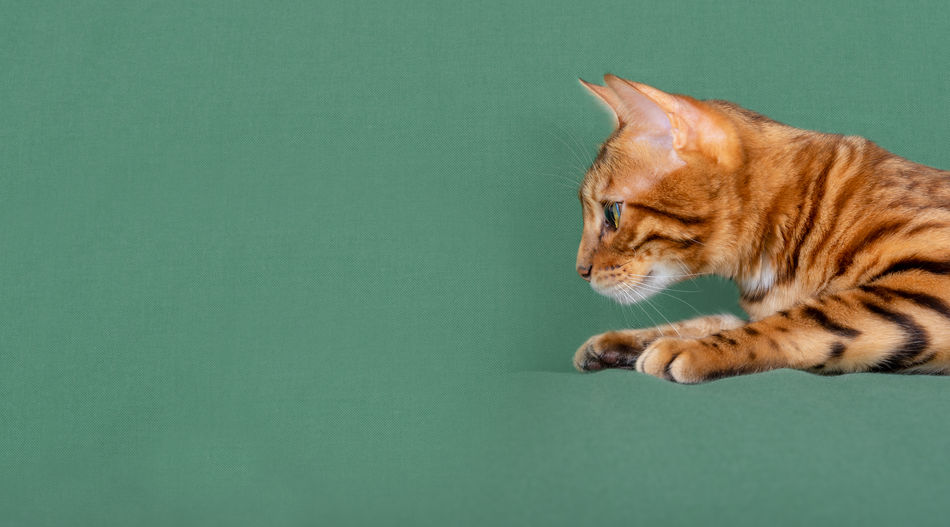 Cat looking away over green background