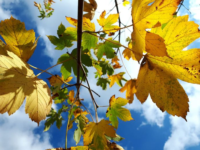 Sunlight Through Trees Blue Sky White Clouds Clouds And Sky Tree Branch Plant Part Leaf Autumn Blue Yellow Multi Colored Maple Leaf Leaves Fall Change Autumn Collection Twig Maple Tree Leaf Vein