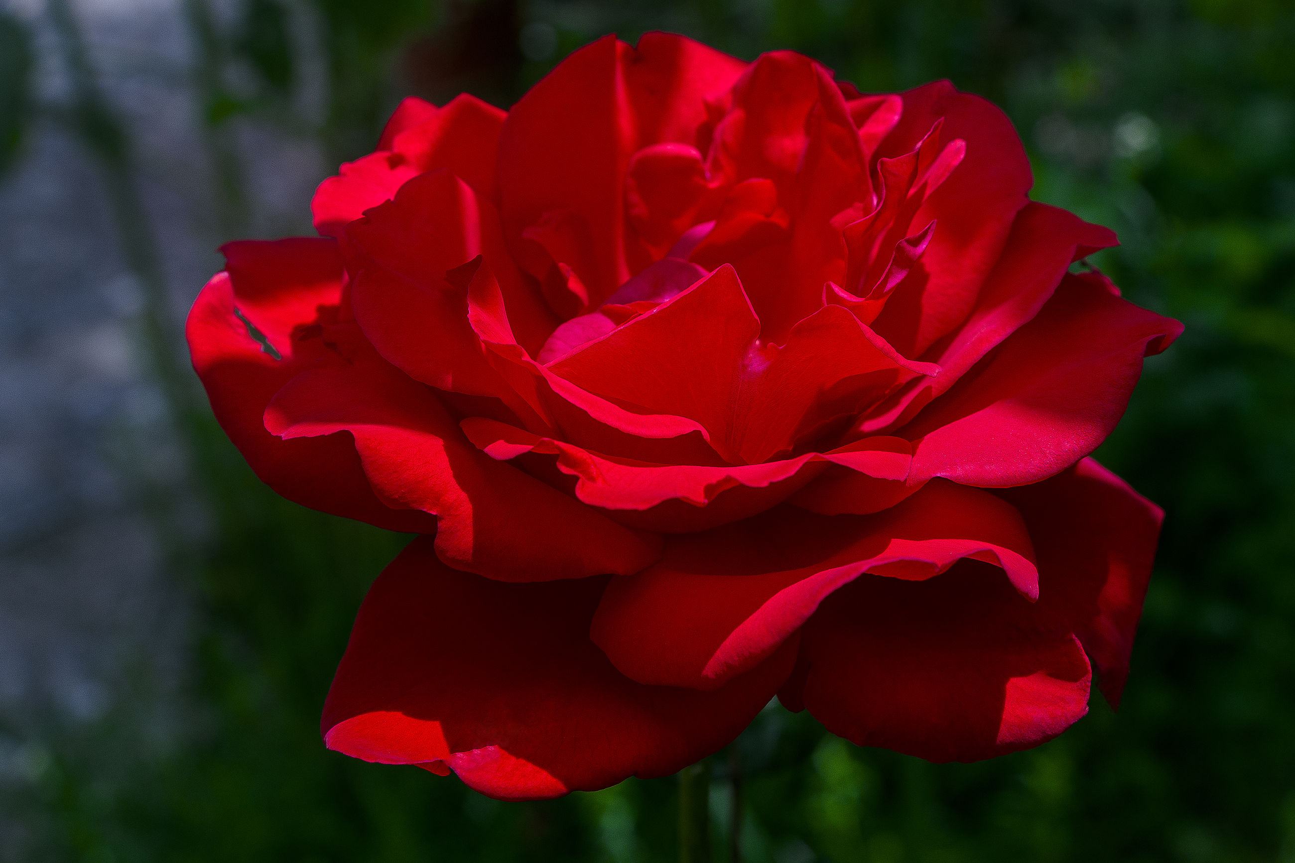 flower, petal, flower head, freshness, fragility, rose - flower, close-up, red, beauty in nature, focus on foreground, single flower, growth, blooming, nature, rose, in bloom, plant, pink color, single rose, selective focus