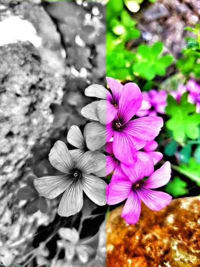 EyeEmNewHere EyeEm Nature Lover EyeEm Best Shots Eye4photography  Blackandwhite Color Contrast Twosouls Saturation Saturationeffect Saturationdifference Photography Italy Macro Focus Violet Nature Flower Head Flower Periwinkle Petal Close-up Plant Blooming Blossom Pollen Botany Stamen Pistil