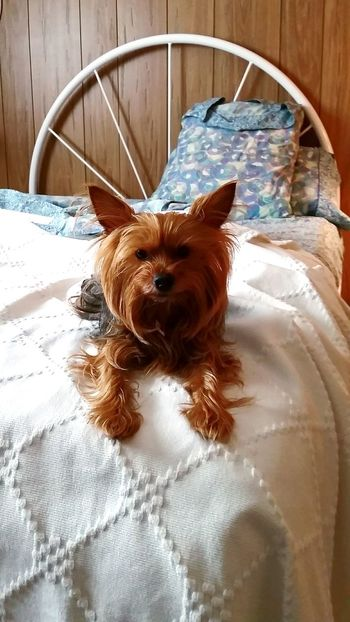 Good morning, Miss Molly Terrier Yorkshire Terrier Yorkie Bed Bedroom Bedding Pets Corner Small Dog Dogs Cute Puppy Cute Dog  Cute Pets Puppy Good Morning In Bed Dog Dog In Bed Domestic Animals Animal Themes Pets One Animal No People Indoors  Portrait Close-up