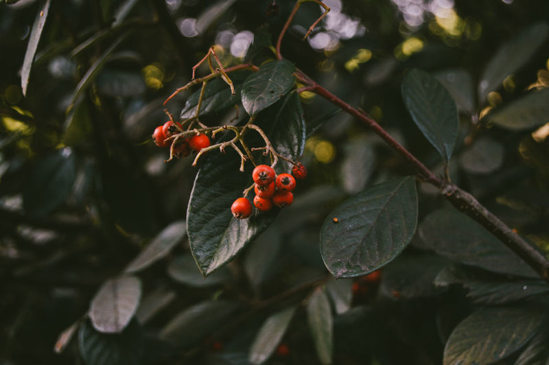 Redish Fruit Food Healthy Eating Leaf Plant Part Growth Plant Focus On Foreground Close-up Day Freshness Red No People Nature Tree Berry Fruit Beauty In Nature Outdoors Green Color