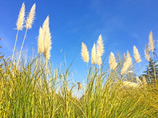 Beauty In Nature Close-up Cortaderia Cortaderia Selloana Day Environment Environmental Conservation Field Garden Grass Growth Invasive Invasive Plant Invasive Species Nature Nature No People Outdoors Pampas Pampas Grass Pampasgrass Pest Plague Rural Scene Sky