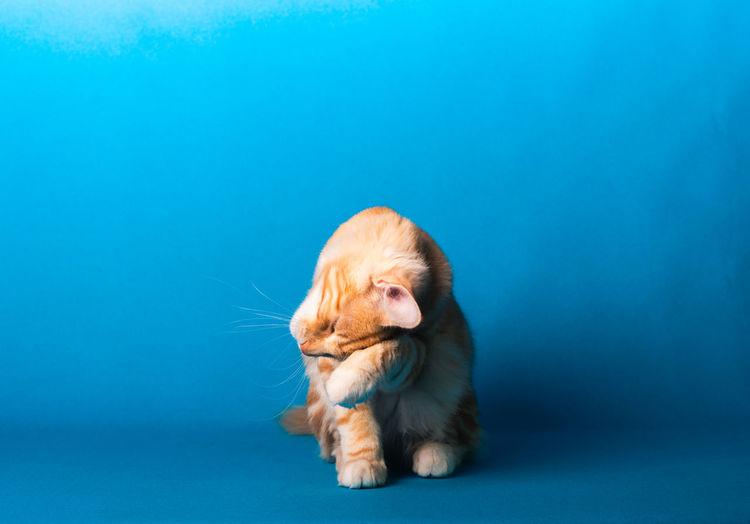 Portrait of a dog over blue background